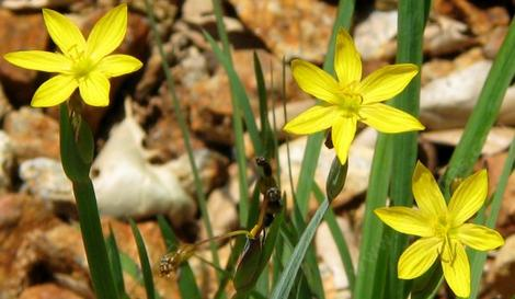 Sisyrinchium californicum, Yellow-eyed Grass has 1 inch yellow flowers. - grid24_12