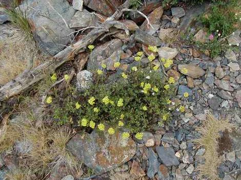 A rather old photo of a Buckwheat up in alpine scree. - grid24_12