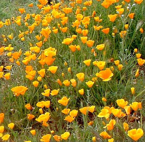 California Poppies are covering a slope in in Central California. Plant a poppy into a native garden and you can make it come alive with small wildlife. - grid24_12