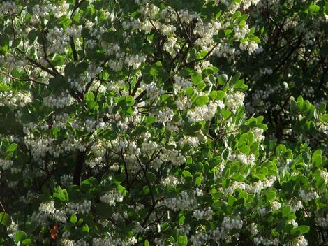 Dr. Hurd manzanita in flower
