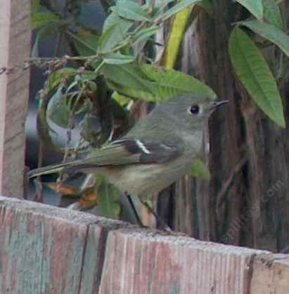a Ruby Crowned Kinglet perched on fence - grid24_12