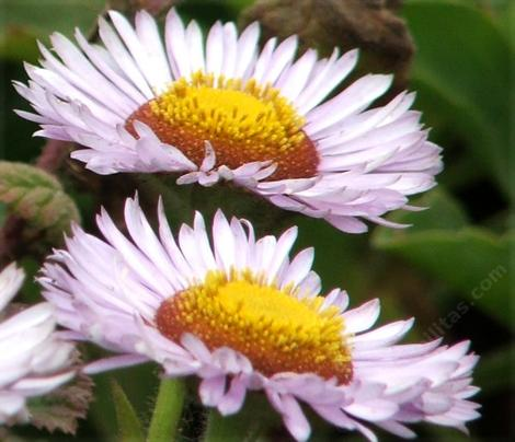 Erigeron glaucus, Seaside Daisy side view - grid24_12