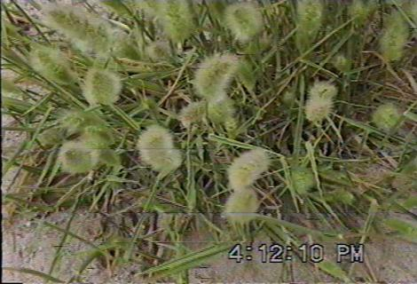 Rabbit tail grass makes the dogs cough for hours. - grid24_12