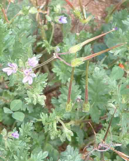 Filaree (Erodium cicutarium) is a awful weed. We have no good controls to offer.  - grid24_12