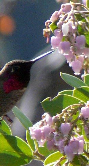 A male Anna Hummingbird working Austin Griffin manzanita flowers. Native plants support native birds. - grid24_12
