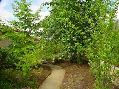 the sycamore on the left was planted as a 24 inch box the large one - Garden Examples Photos
