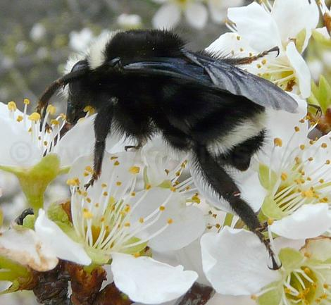 Bombus vosnesenskii bumblebee on a plum flower, probably a Queen. - grid24_12