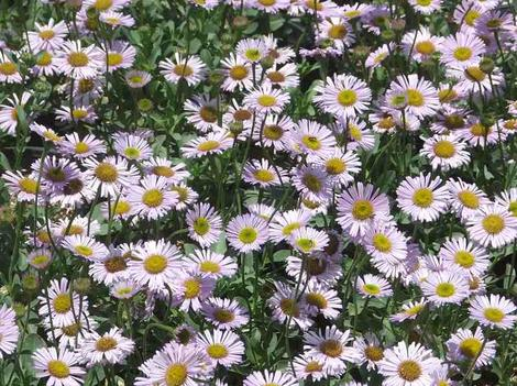 Erigeron Wayne Roderick Daisy planted as a small groundcover or border. With a little water has worked well everywhere in California we've tried it. - grid24_12