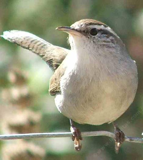 Bewick's Wren acts like a Buick wren - grid24_12
