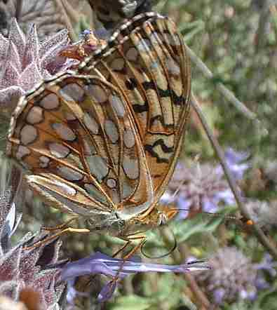 A Fritillary Butterfly on Pozo Blue Sage flowers. - grid24_12
