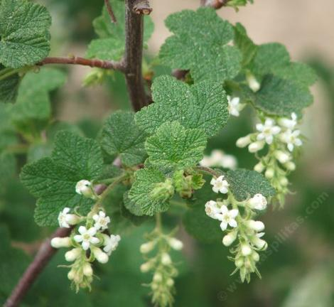 Ribes indecorum white flowering currant white chaparral currant ribes indecorum is native from southern monterey co to san mightylinksfo