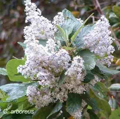 Ceanothus arboreus has big flowers - grid24_12