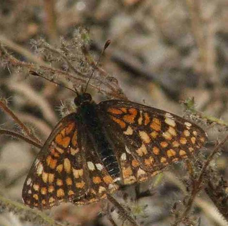 Gabbs Checkerspot - grid24_12