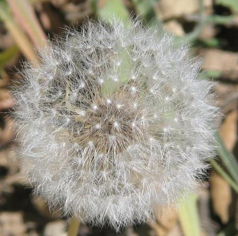 Agoseris grandiflora, Mountain dandelion seed heads in the Santa Margarita garden. - grid24_12