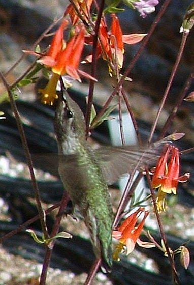 Anna Hummingbird on Aquilegia shockleyi Desert Columbine - grid24_12