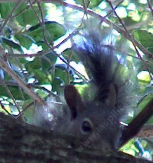 A spying Tree Squirrel - grid24_12