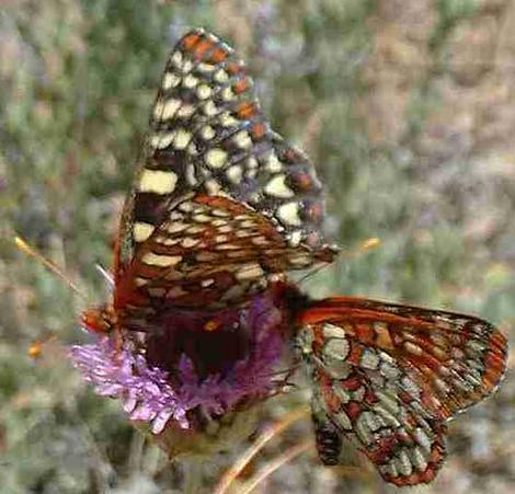 Monardellas seem to be a Butterfly magnet. This one has two Variable Checkerspot butterflies. - grid24_12
