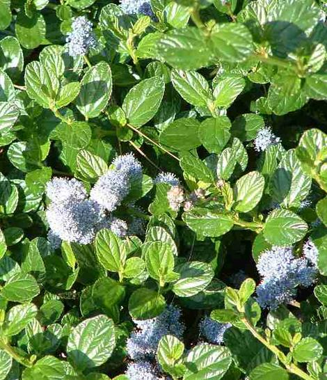 Ceanothus Yankee Point as flat groundcover with blue flowers.