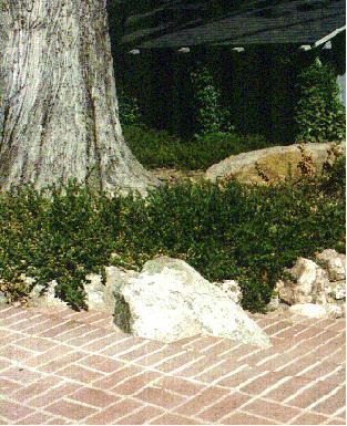 An old picture of Ceanothus  gloriosus growing over rocks next to a brick patio.