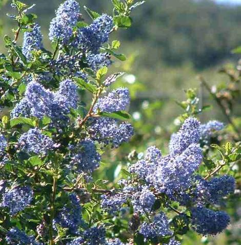 Looking through Ceanothus  Mountain Haze flowers.