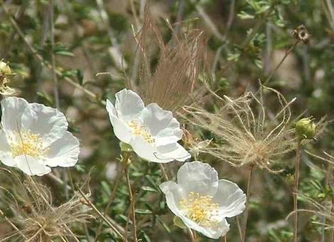 Fallugia paradoxa, Apache Plume, is a delicate shrub with pretty white flowers, and plumose fruits.  - grid24_12