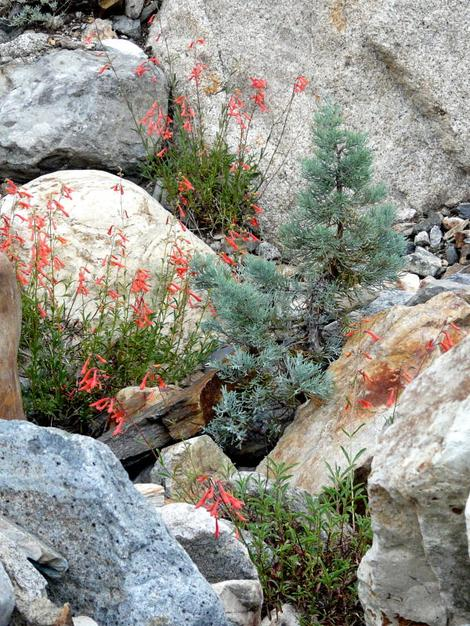 Penstemon rostriflorus, Bridge's Penstemon amongst the rocks with Pinus monophylla. The Penstemon is maybe 3ft tall.  - grid24_12