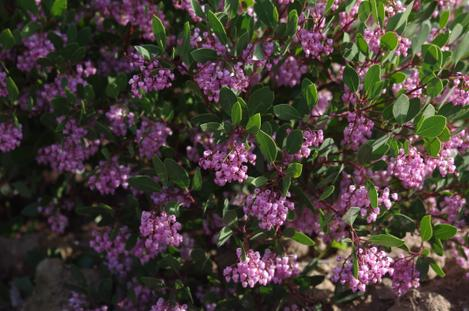 The flowers of Sonoma Manzanita