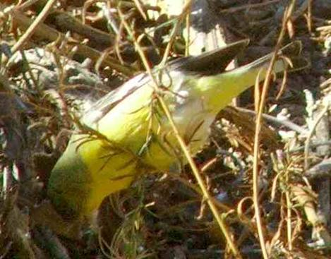 Lesser Goldfinch hanging upside down eating seeds - grid24_12