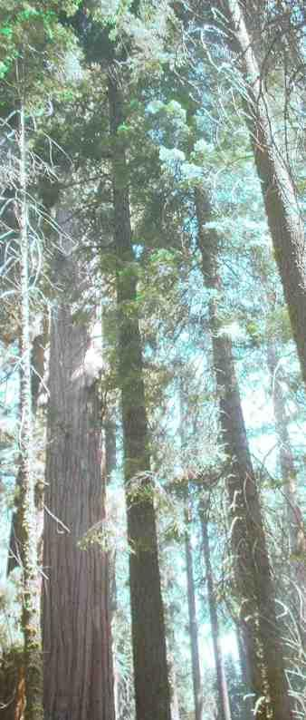 Looking up into the redwood trees. The tallest trees in the world are California native plants. - grid24_12