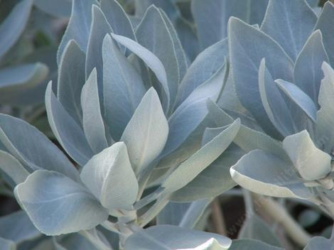 White sage, Salvia apiana has incredible leaves.