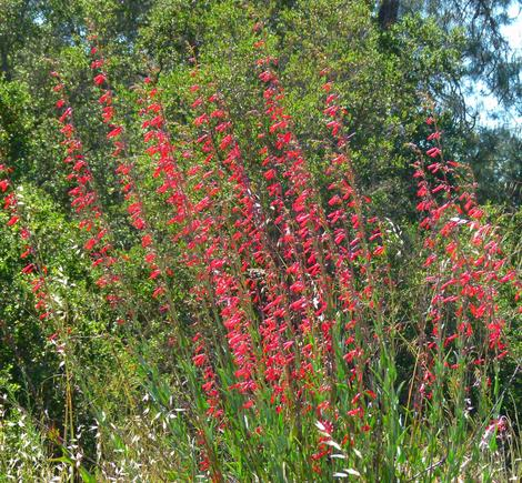 When Penstemon centranthifolius, Scarlet Bugler, is massed it can be very showy. I've come across clumps like this from San Luis Obispo, North Los Angeles  and  San Diego. - grid24_12