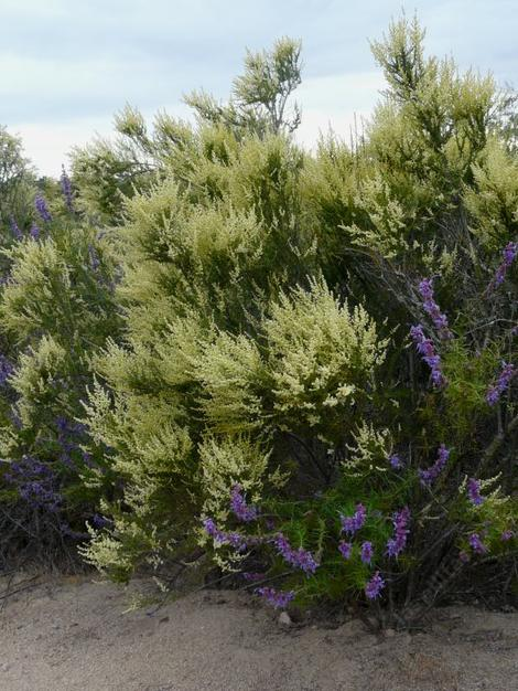 Woolly Blue curls and Adenostoma fasciculatum (Chamise or Greasewood) in flower.