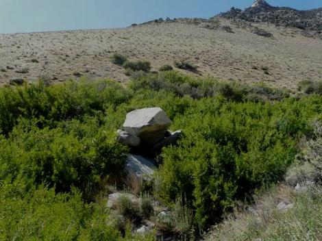 Forestiera neomexicana, Desert Olive, is growing here in a moist swale in overgrazed rangeland in the eastern Sierra Nevada mountains of California.