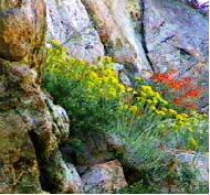 Chrysothamnus nauseosus ssp. hololeucus, Rabbitbrush, in the Laguna Mountains of southern California, growing out of a large boulder, with Zauschneria (Epilobium) in the background.