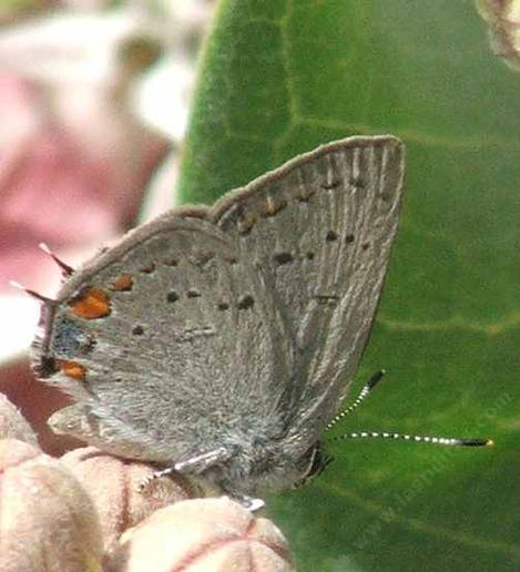 California Hairstreak butterfly - grid24_12
