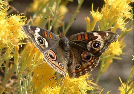 Buckeye butterfly open on Rabbitbrush - grid24_12