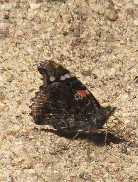 Red Admiral Butterfly with wings closed - grid24_12