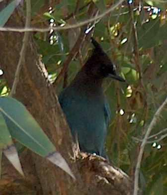 A Stellar's Jay  up in a California Bay, watching. - grid24_12