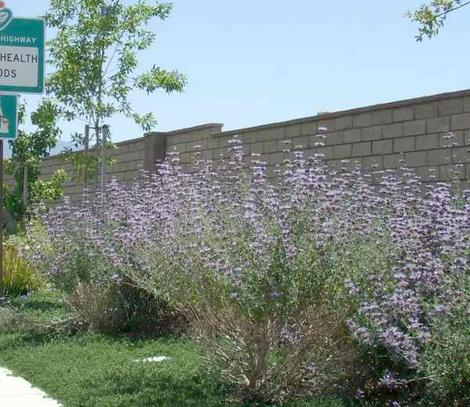 Salvia Pozo Blue in an overwatered flower bed in Bakersfield. This sage will grow in most of California. - grid24_12