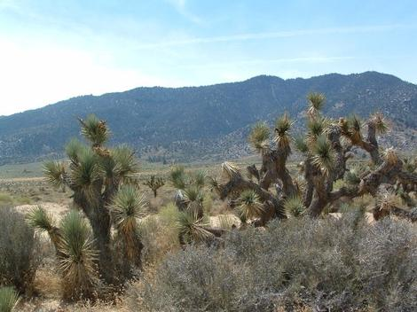 Joshua tree, Yucca brevifolia in Kelso Valley. - grid24_12