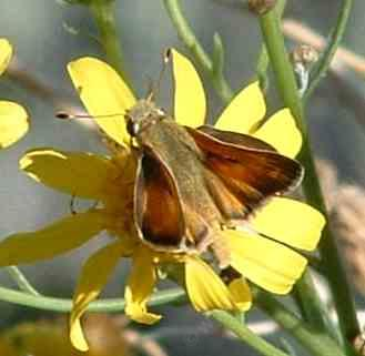Tilden's skipper on a Butterweed plant. AKA Common Branded Skipper, Hesperia comma - grid24_12