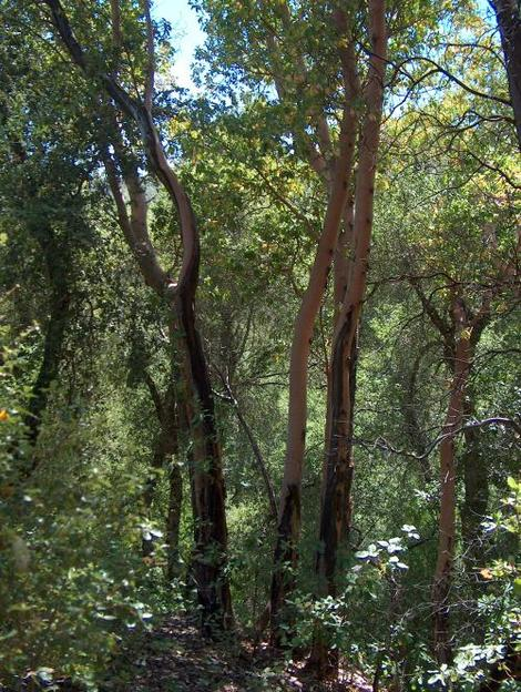 Arbutus menziesii, Madrone, growing in the mixed evergreen forest of the central coast ranges of California, with Quercus kelloggii.  - grid24_12