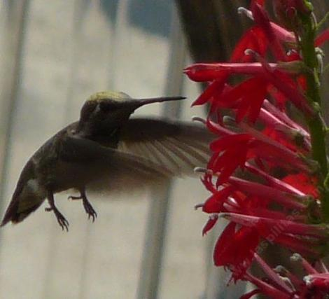 Landing gear down, and coming in for a sip of nectar from the flowers of Lobelia cardinalis, Cardinal Flower, is a unidentified hummingbird.  - grid24_12