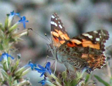 Painted Lady on a Lobelia dunii - grid24_12