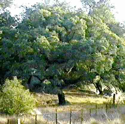 Engelman Oak down in Ramona California - grid24_12