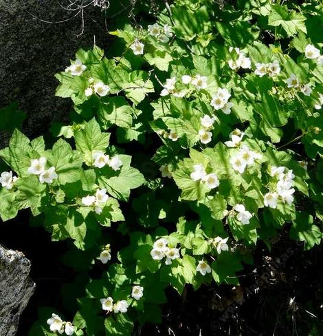 Thimbleberry can be very floriferous  - grid24_12