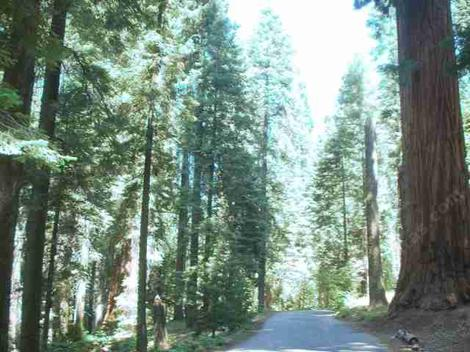 Coniferous forest in the Sierras. That sure looks like a redwood on the right. - grid24_12