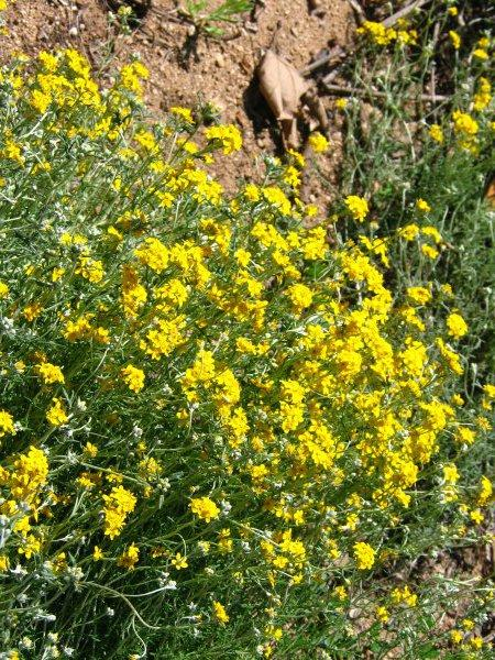Eriophyllum confertiflorum, Golden yarrow or Yellow yarrow, is native all over Southern California and was an important nectar source for many native butterflies. - grid24_12