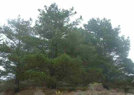 Pinus muricata, Bishop Pine, is found on the coast and in the coastal mountains from forests to chaparral.