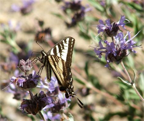 A pale swallowtail on Salvia Pozo Blue.